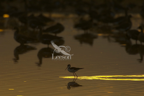 Black-necked Stilt (Himantopus mexicanus) and White-fronted Geese (Anser albifrons).  Western U.S., fall sunset.