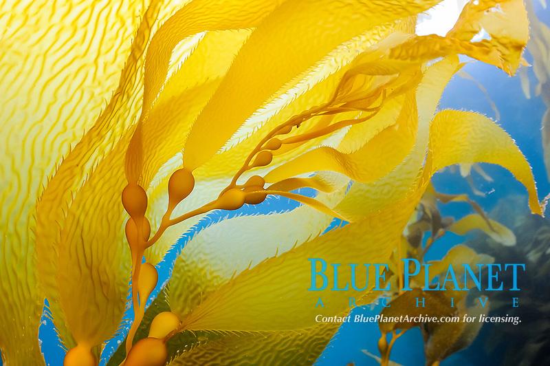 giant kelp, giant bladder kelp, Macrocystis pyrifera, Anacapa Island, Channel Islands, Channel Islands National Park, California, USA, Pacific Ocean