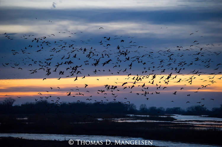 Sandhill cranes fly to the Platte River to rose for the night in Nebraska.