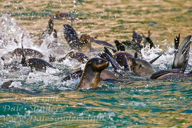 Cape Fur Seal or Brown fur Seal ( Arctocephalus pusillus ) at Plattenburg Bay, along the Garden route of South Africa.