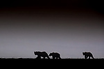 Brown bear sow and cubs (Ursus arctos), Katmai National Park and Preserve, Alaska, USA<br /> <br /> Canon EOS-1D X Mark II, EF100-400mm f/4.5-5.6L IS II USM lens, f/10 for 1/640 second, ISO 1000