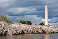 Washington Monument and Cherry Blossoms around Tidal Basin, Washington, D.C.