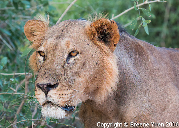 Samburu Lion Portrait1 Kenya 2015
