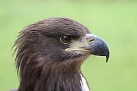 Seeadler, See-Adler, See - Adler, Portrait, Haliaeetus albicilla, White-tailed Eagle, Pygargue à queue blanche, Hakenschnabel, Haken-Schnabel