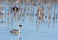Western Grebe, Aechmophorus occidentalis, swims at Tule Lake National Wildlife Refuge, Oregon