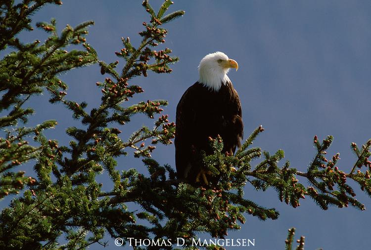 A bald eagle perches in a spruce tree in Alaska.
