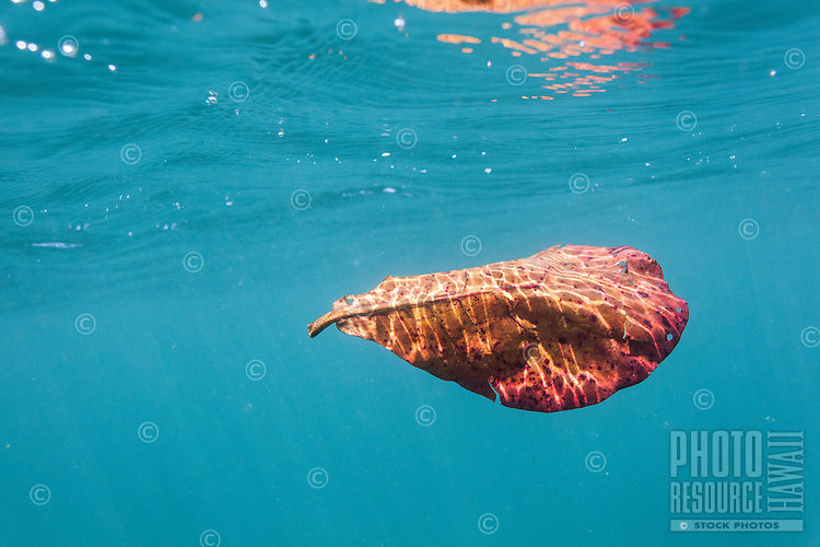 The image of a sun-dappled orange leaf floating underwater is reflected on the ocean's surface above it, O'ahu.