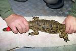 Holding Crocodile
