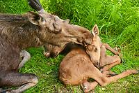 A mother Moose (Alces alces) and her calf, Alaska
