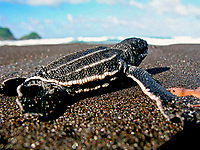 leatherback sea turtle hatchling, Dermochelys coriacea, going towards ocean, Dominica, Caribbean, Atlantic Ocean