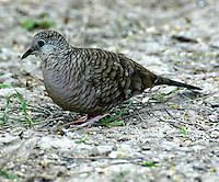 Adult inca dove on ground