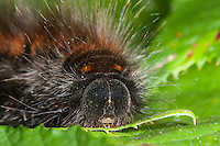 Brombeerspinner, Brombeer-Spinner, Raupe, Macrothylacia rubi, fox moth, caterpillar, Glucken, Lasiocampidae