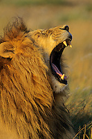 Male African Lion yawning.  Africa.