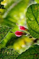 Wildflower growing in rainforest in Costa Rica.