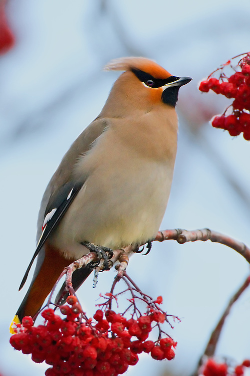 A Bohemian Waxwing perches on top of a branch with berries from a Mountain Ash Tree.. 2097x3145