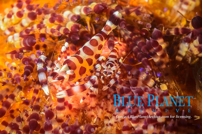 Coleman shrimp, Periclimenes colemani, mating pair, on fire urchin, Asthenosoma varium, Anilao, Batangas, Philippines, Pacific Ocean