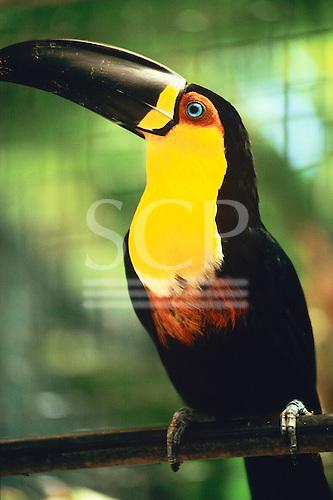 Amazon, Brazil. Black-beaked toucan with yellow breast.
