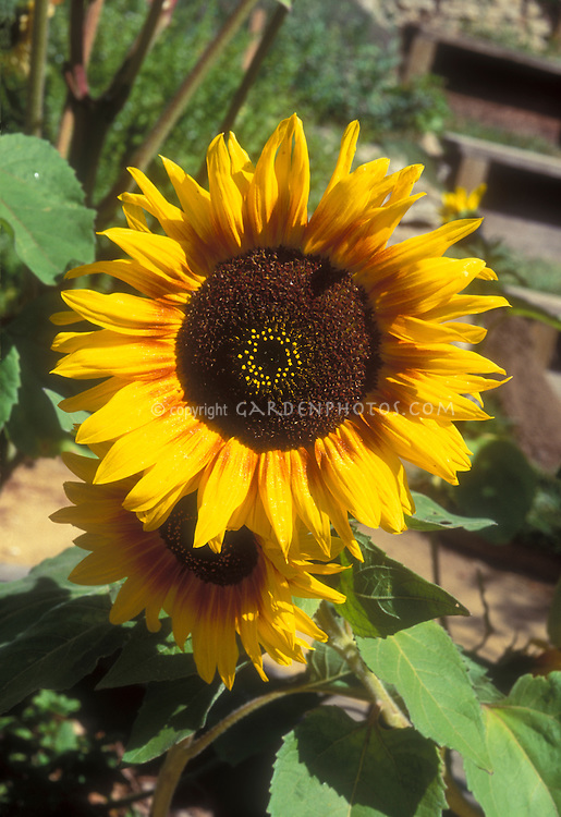 Helianthus annuus Pastiche sunflowers with brown center, yellow petals