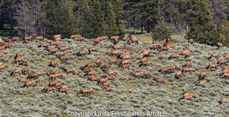 Rocky Mountain Elk Herd in Yellowstone National Park
