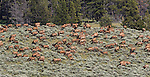 Rocky Mountain Elk Herd in Yellowstone National Park