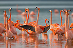 American Flamingos (Phoenicopterus ruber) <br /> perform elaborate group courtship displays like wing salutes that help individuals<br /> assess and select potential partners<br /> for breeding. Celestun Biosphere Reserve, Yucutan, Mexico. February.
