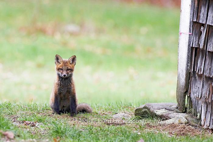 Red fox kit sitting at corner of barn