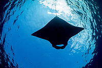 reef manta ray, Manta alfredi, feeding on plankton in surface slick, off Mahaiula, Kona Coast, Big Island, Hawaii, USA, Pacific Ocean
