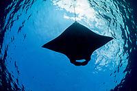 reef manta ray, Mobula alfredi, feeding on plankton in surface slick, off Mahaiula, Kona Coast, Big Island, Hawaii, USA, Pacific Ocean