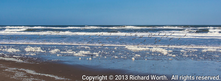 """A group of surfbirds is a """"board """" of surfbirds, or a """"kahuna"""".  Here, a kahuna of surfbirds takes flight, like so many parentheses, over a beach splattered with phytoplankton foam."""