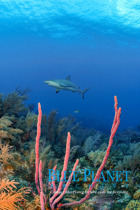 Caribbean reef shark, Carcharinus perezii, on coral reef with purple rope sponges, Aplysina species, Bahamas (W. Atlantic) (do)