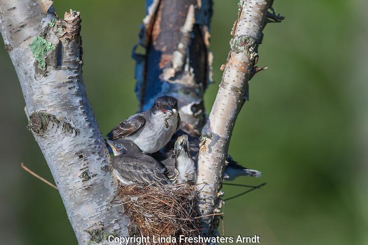Eastern kingbird - parent holding fecal sack