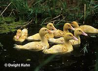 DG12-041x  Pekin Duck - seventeen day old ducklings swimming in a pond