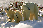 Two polar bear cubs stand with their mother at Hudson Bay in Manitoba, Canada.