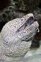 A Dragon Moray (Enchelycore pardalis) in the Beijing Aquarium.