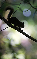 Red-tailed squirrels can be found in Costa Rica's central highlands.
