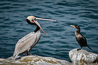 A Brown Pelican seemingly lectures a Double Breasted Cormorant at La Jolla Cove near San Diego, California.