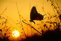 Swallowtail butterfly perches on grass as sun rises