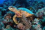 Hawksbill turtle, Eretmochelys imbricata, sitting on the reef, Layang Layang, Sabah Province, Borneo, South China Sea, Malaysia, Pacific Ocean