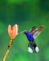 violet sabrewing, Campylopterus hemileucurus, Alajuela Province, Costa Rica