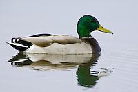 Mallard swimming on a lake
