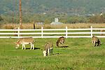 Farm Animals- Goats