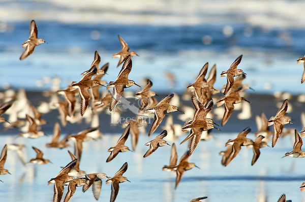 Shorebirds--mostly dunlins--flying along Pacific Ocean.  Spring migration, Pacific Northwest.  April.