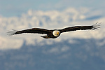 Bald eagle spreads its wings over Kachemak Bay in Homer, Alaska.