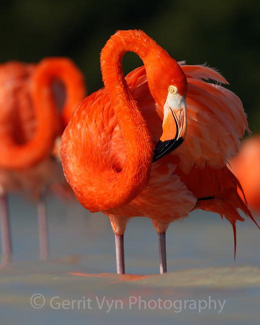 American Flamingo (Phoenicopterus ruber) preening. Yucatan, Mexico.