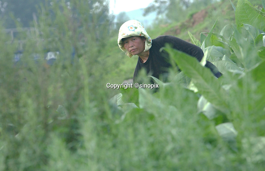 01-AUG-02: NORTH KOREAN BORDER: YANJI, JILIN, CHINA<br /> An ethnic Korean works in a field outside the city of Yanji. The city has been at the center of a security crackdown aimed at North Korean refugees.