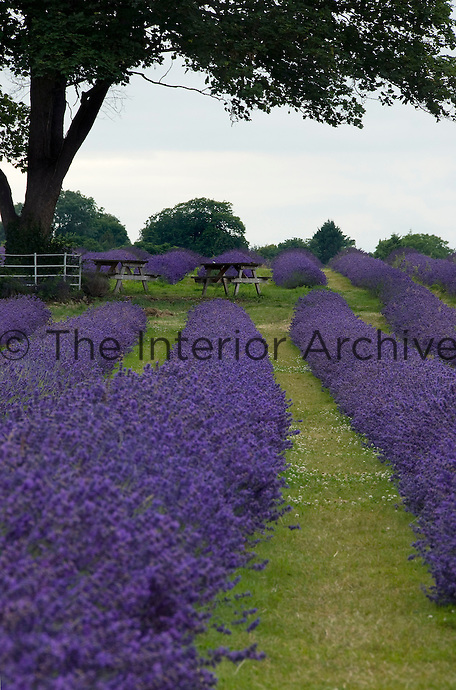 Avenues of grass separate the rows of lavender which stretch as far as the eye can see