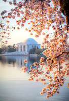 Cherry Blossoms Jefferson Memorial Tidal Basin Washington DC Cherry Blossoms blooming around the Tidal Basin in Washington, DC symbolize the natural beauty of our nation's capital city and has become part of Washington, D.C.'s rite of spring. Landmarks include the Jefferson Memorial, Washington Monument, and US Capitol. A popular tourist attraction and travel destination for many visiting Washington, D.C.