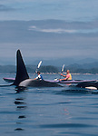 Orca whales, sea kayakers, in Johnstone Strait, Vancouver Island; British Columbia, Canada