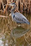 Great blue heron, George C. Reifel Migratory Bird Sanctuary, British Columbia, Canada