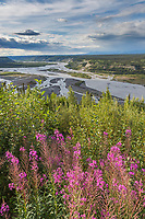 Fireweed blossoms along the Copper River in southcentral, Alaska